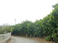 南大東島のリュウキュウマツ並木 - 並木で製糖工場まで行きたくても行けない