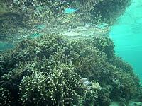 宮古島の吉野ビーチの海の中 - 枝珊瑚が群生しています