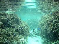 宮古島の吉野ビーチの海の中 - 枝珊瑚の茂みがいっぱいです