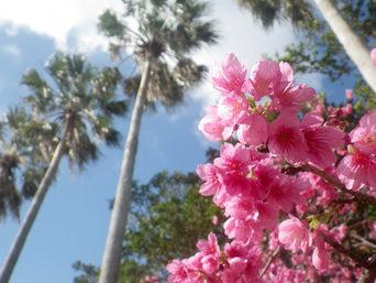 那覇の与儀公園/桜の名所「毎年2月中旬が見頃です」