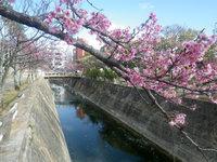 那覇の与儀公園/桜の名所 - ガーブ川が公園中心を流れています