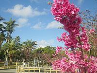 那覇の与儀公園/桜の名所 - 沖縄の桜は色鮮やか