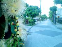 沖縄本島 那覇の瑞泉通り/馬場通り/サガリバナ並木/瑞泉酒造の写真