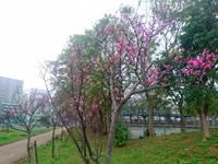 那覇の松山公園 - 桜の名所だが本数は少なめ