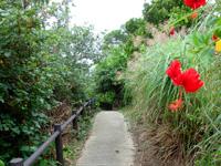 大神島の大神島横断 遊歩道西側 - 集落近くにはハイビスカスも!?