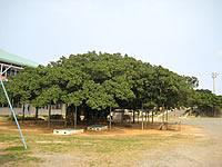 沖永良部島の日本一のガジュマル(国頭小学校校庭)