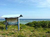 沖永良部島のハマユウ群生地