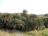 沖永良部島のソテツジャングルの写真