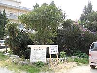 沖永良部島の西郷蘇鉄(ソテツ)