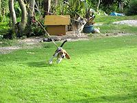 瀬底島のフーカフェ/Fuu cafe - 人なつっこい犬が2匹いました