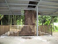 多良間島の土原ウガン/ウガム゜/植物群落 - 神木のような大きな木があります