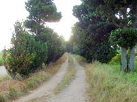 多良間島の塩川御嶽のフクギ並木 - 確かに並木だけど・・・