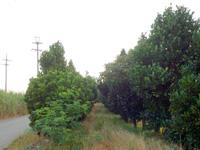 多良間島の塩川御嶽のフクギ並木 - 中には通れない並木道も