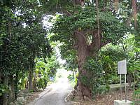 多良間島のおきなわの名木 大アカギ - 素朴な道にあります