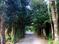 運城御嶽のフクギ並木