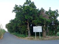 多良間島の多良間島の抱護林
