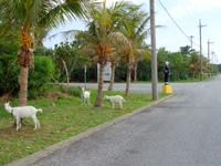 多良間島の多良間島まもる君 - 交通安全だけではなくヤギもまもる君