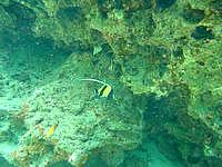渡嘉敷島の阿波連ビーチ北のインリーフ - ツノダシと一緒に泳ぐ