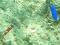 渡嘉敷島の阿波連ビーチ北のインリーフ - 珍しい魚もいるかも?