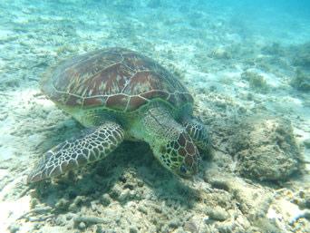 渡嘉敷島のトカシクビーチのウミガメ