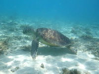 渡嘉敷島のトカシクビーチのウミガメ - のびのびと暮らしています