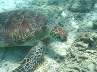 渡嘉敷島のトカシクビーチのウミガメ - 絶対に触ってはいけません!