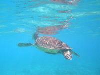 渡嘉敷島のトカシクビーチのウミガメ - たまに海面に息継ぎする姿も
