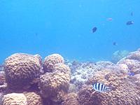 渡嘉敷島ハナレ島のハナレ島の海の中 - サンゴが生き生きしていれば魚も多い
