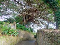 樹齢300年ガジュマル/平家の石垣