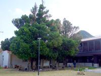 渡名喜島の渡名喜番所渡名喜小中学校跡のフクギ群 - すぐ隣に巨大施設建設?