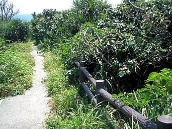 津堅島のキャロット愛ランド遊歩道「遊歩道の港側はまだ歩きやすいです」