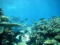 八重干瀬の八重干瀬の珊瑚礁 - 種々様々な珊瑚が見れます