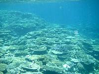 八重干瀬の八重干瀬の珊瑚礁 - 深い部分にはテーブルサンゴがびっちり
