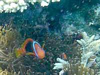 八重干瀬の八重干瀬のクマノミ - サンゴの奥にいることがあるので探しましょう