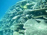 八重干瀬の八重干瀬のテーブル珊瑚 - 無数のテーブルが広がっています