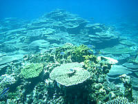 八重干瀬の八重干瀬のテーブル珊瑚 - 珊瑚礁を見に行くだけでも価値有りです