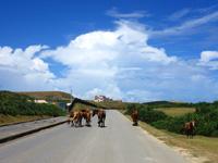 与那国島の南牧場線/Dr.コトーのタイトルバックの道/自衛隊基地整備 - 馬や牛が普通に道路を歩いています