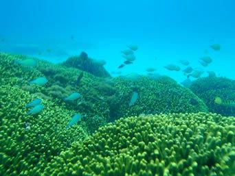 与論島のウドノスビーチの海の中「サンゴの根には魚もいっぱいです」