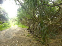 請島の石川道への後半の道 - 海の近くには特徴的な木があります