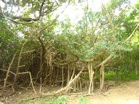 請島の石川道の浜 - 面白い木々も多かった