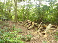 請島の大山ミヨチョン岳登山道 - 登山口直後には多くの丸太がありました