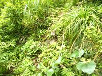 請島の大山ミヨチョン岳登山道 - 途中の登りポイントは草で隠れていた
