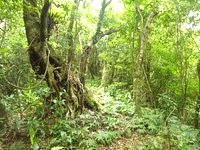 請島の大山ミヨチョン岳登山道 - まさに森の中を散策する感じ