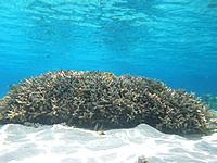 座間味島の阿真ビーチのインリーフ - サンゴの根が点在