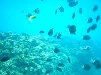 座間味島の古座間味海の中 - 魚は多いですが、完全に餌付けされています