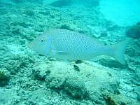 座間味島の古座間味海の中 - こんな大きな魚も浅瀬に